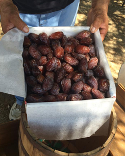 Freshly Harvested California Dates